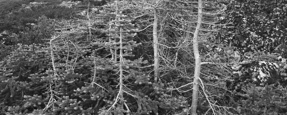 Stunted trees, Keno Hill